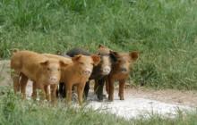 BRACK: Better tasting pork from happier pigs on this farm